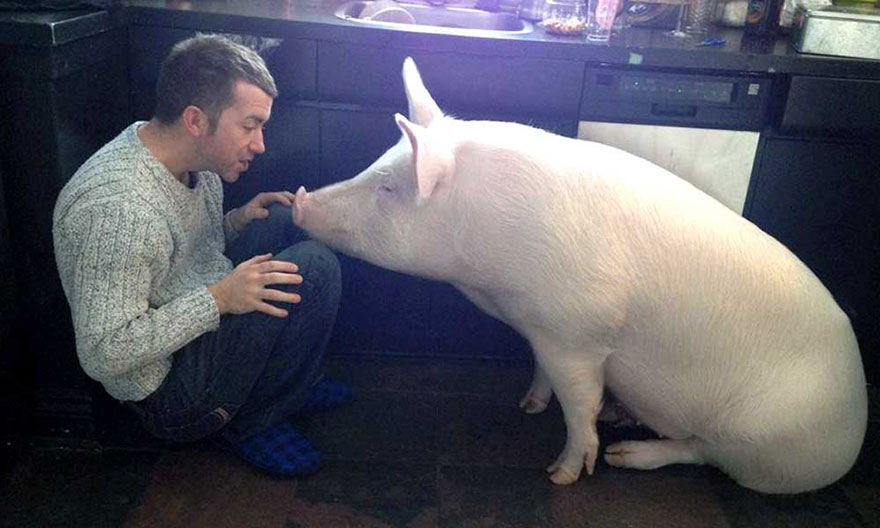Esther A Cute Little Adopted Pet Pig Grows To 670 Pounds (8)