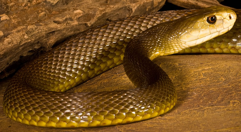 Venomous Snakes You Would'nt Want To Adopt As A Pet 7