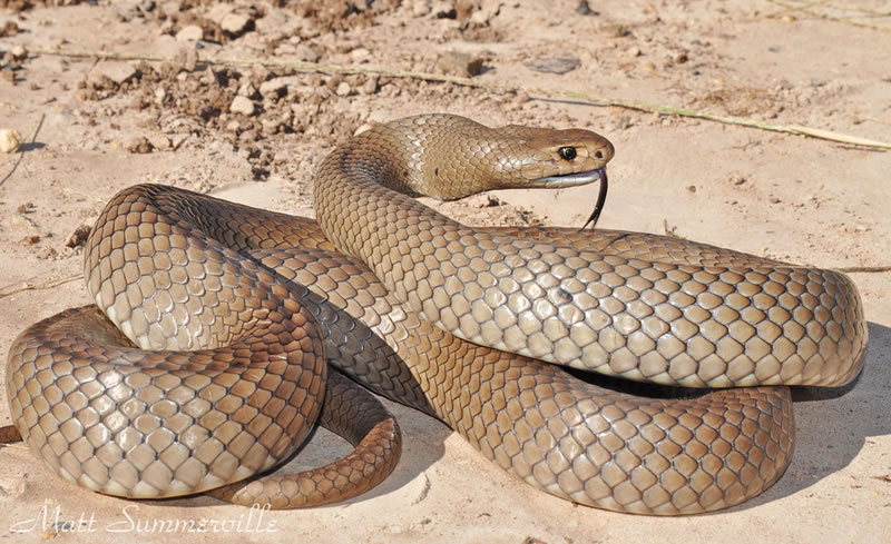 Venomous Snakes You Would'nt Want To Adopt As A Pet 9