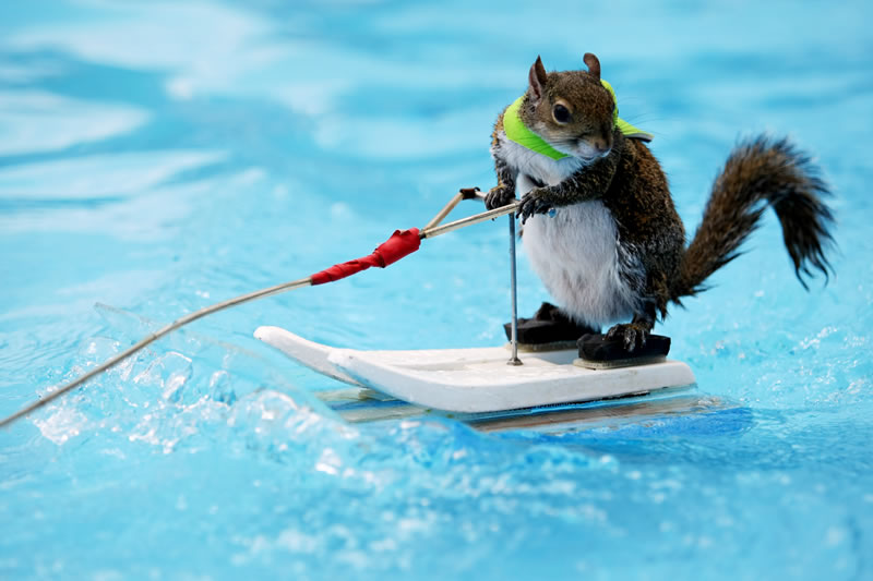 Meet The Adorable Squirrel That Loves To Water Ski 1