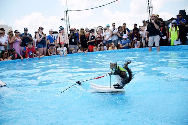 Meet The Adorable Squirrel That Loves To Water Ski 3
