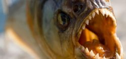 This Incredible Piranha Feeding Frenzy Will Leave You In Shock