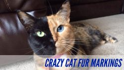 Crazy Cat Fur Markings