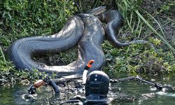 Brave Scuba Diver Swims With Anaconda Of 26 Feet In Brazil