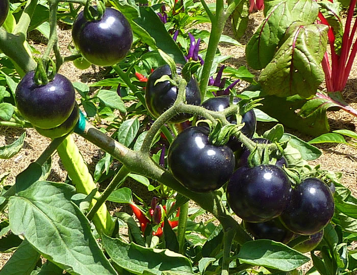 Black Tomatoes May Look Strange But Are Excellent For Your ...