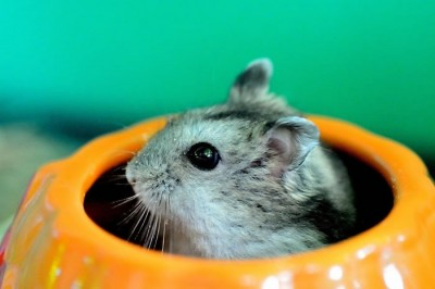 These 15 Cute Hamster Pictures Will Melt Your Heart