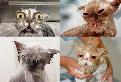 15 Wet Cat Grooming Photo Funnies