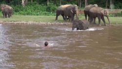 African Elephant Calf Dashes Into River To Save Man from Drowning